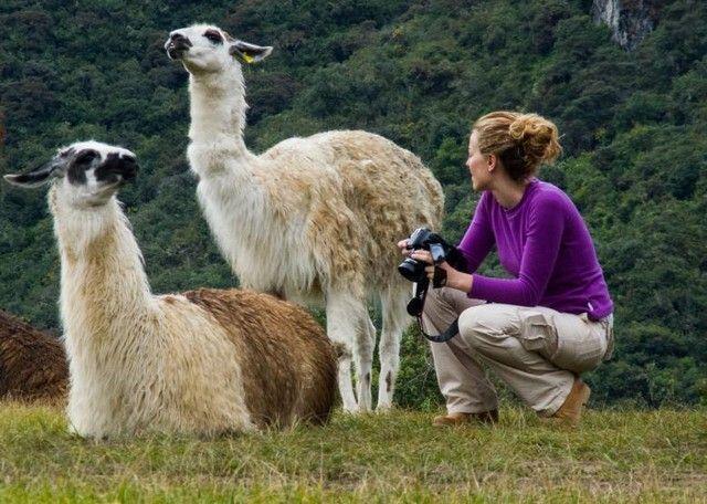 alpacas callejeando por el mundo y machu picchu