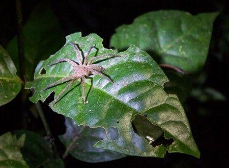 araña excursion nocturna reserva tambopata peru 2