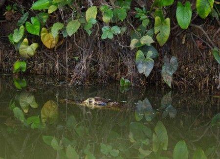 caiman lago sandoval reserva tambopata 2