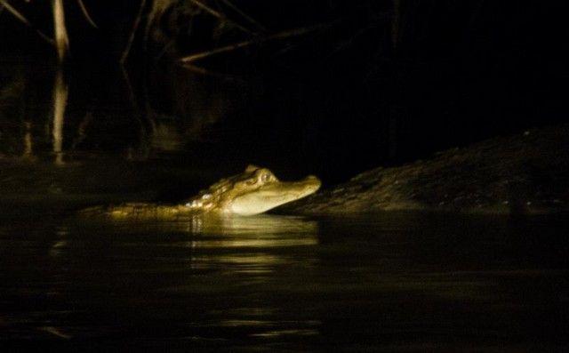 caimanes de noche reserva tambopata peru