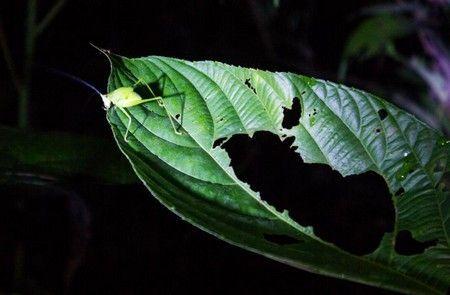 saltamontes excursion nocturna reserva tambopata peru