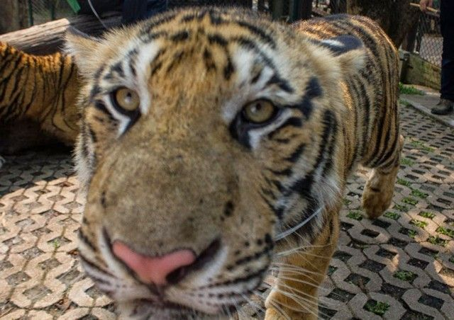 tigre en tiger kingdom
