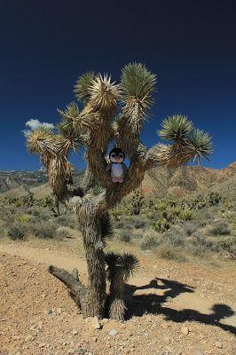 pingus en el desierto Las Vegas