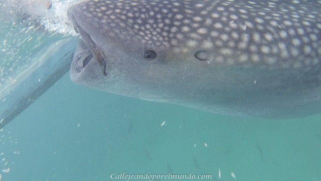 oslob tiburon ballena (3)