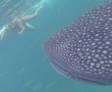 oslob tiburon ballena portada
