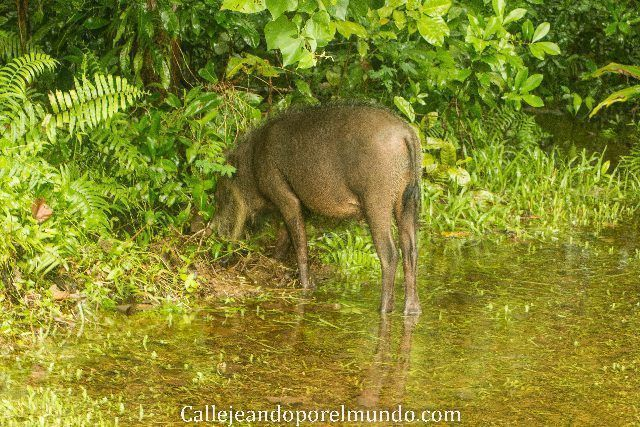 cerdo barbudo parque nacional bako borneo malasia