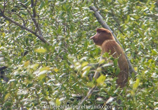hembra proboscis parque nacional bako borneo malasia