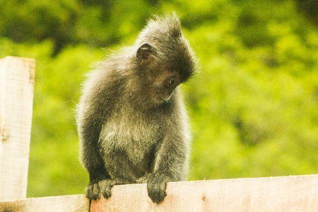 mono parque nacional bako borneo malasia