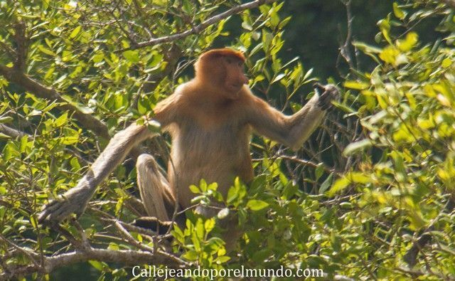 proboscis parque nacional bako borneo malasia