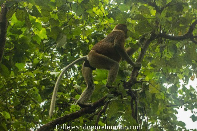 proboscis parque nacional bako kuching malasia