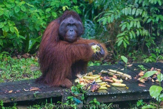 Richie Semenggoh Kuching Borneo