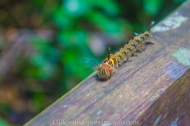 gunung mulu gusano amarillo borneo malasia