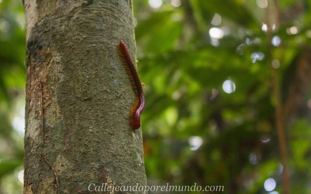 gunung mulu gusano rojo borneo malasia