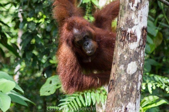 orangutan semenggoh borneo malasia (2)