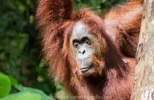 orangutan semenggoh borneo malasia (4)