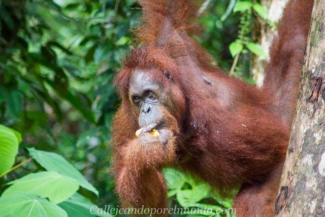 orangutan semenggoh borneo malasia centro de recuperacion
