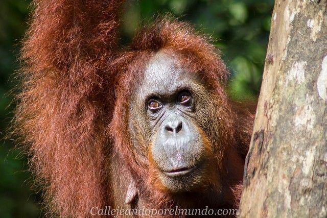orangutan semenggoh borneo malasia kuching