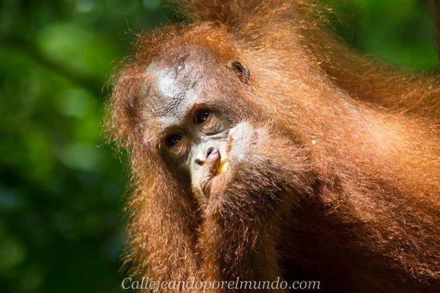 orangutan semenggoh borneo malasia