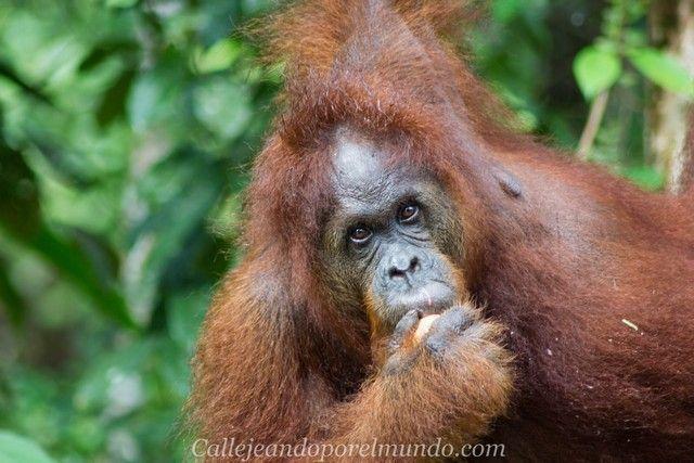 orangutan semenggoh centro de recuperacion borneo