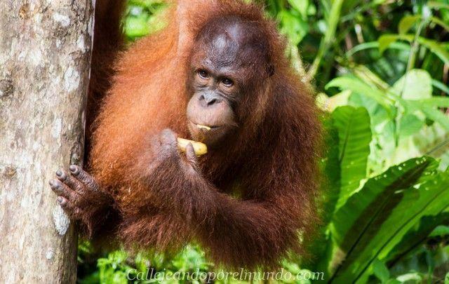 orangutan semenggoh kuching borneo