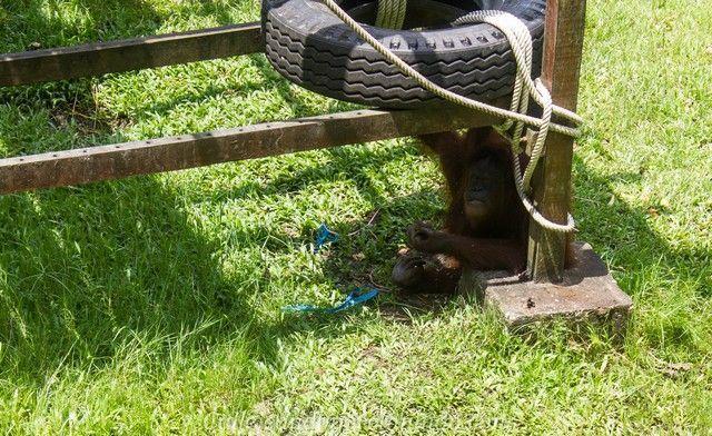 orangutanes centro matang kuching borneo (2)
