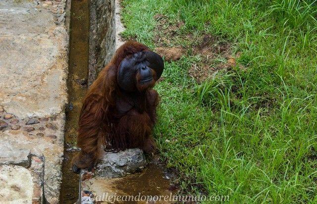 orangutanes matang kuching borneo