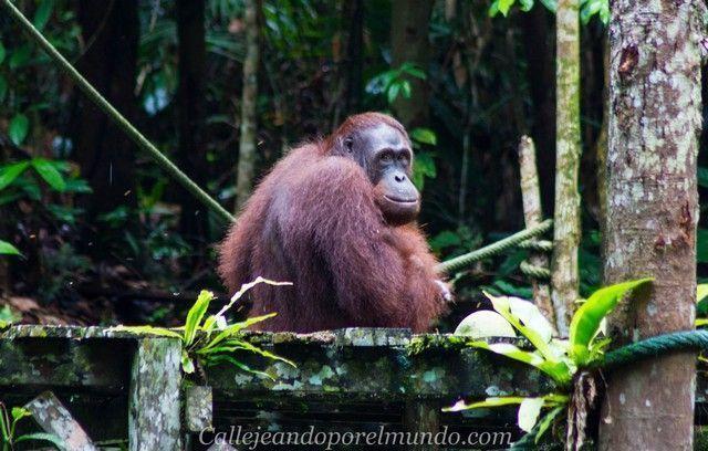 orangutanes semenggoh borneo malayo
