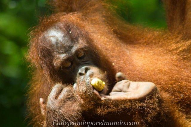 semenggoh borneo malasia orangutan (2)