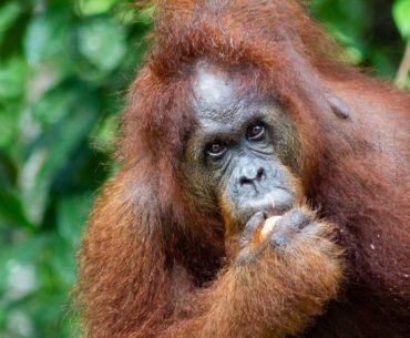semenggoh orangutan center borneo