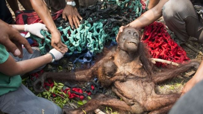 situacion orangutan borneo