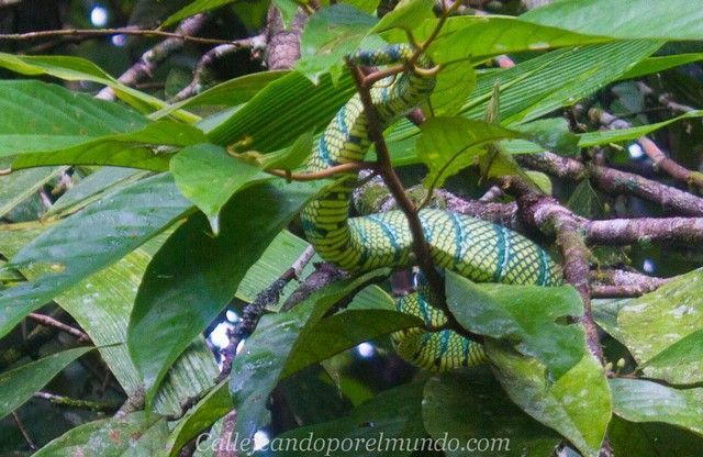 serpiente gunung mulu national park borneo malasia