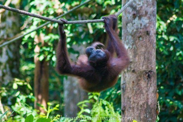 orangutan sepilok borneo malasia (1)