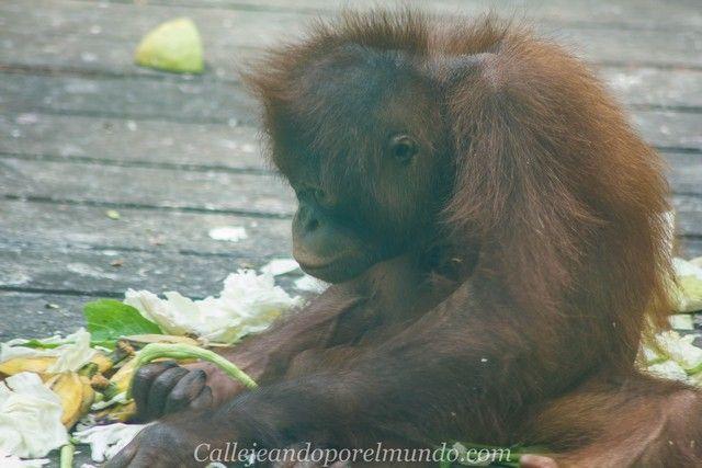 orangutan sepilok borneo malasia (11)