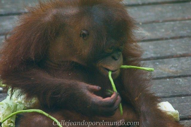 orangutan sepilok borneo malasia (12)