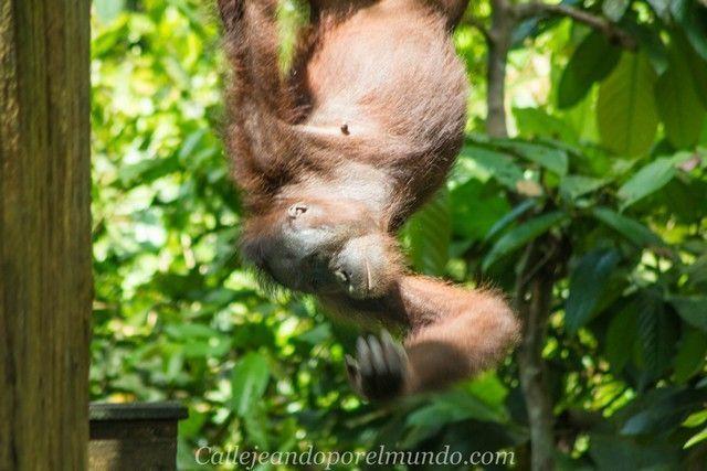 orangutan sepilok borneo malasia (2)