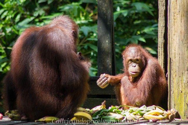 orangutan sepilok borneo malasia (3)