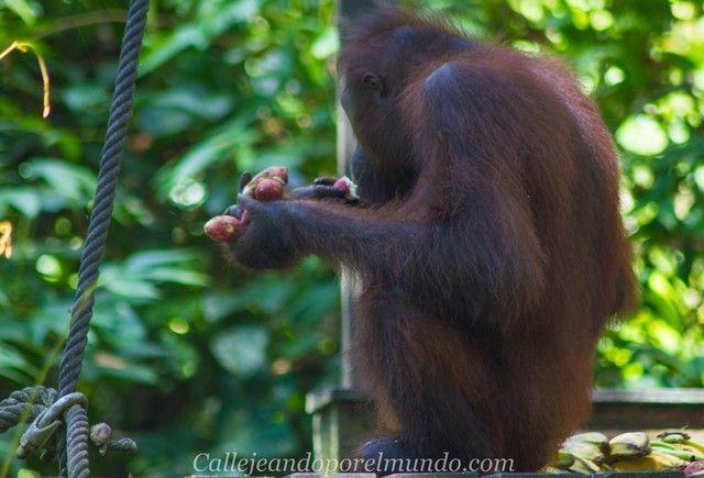 orangutan sepilok borneo malasia (4)