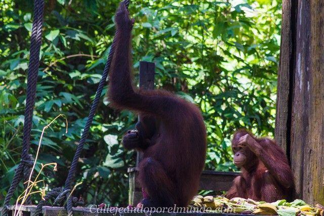 orangutan sepilok borneo malasia (6)