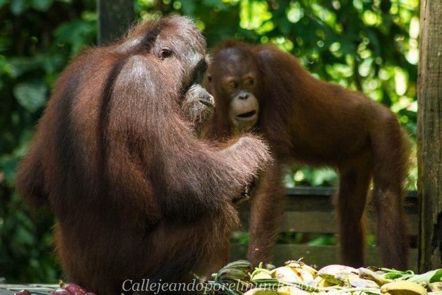 orangutan sepilok borneo malasia (7)