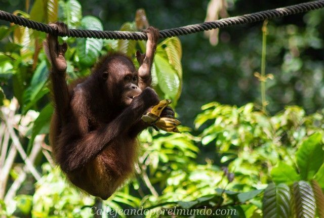 orangutan sepilok borneo malasia (9)