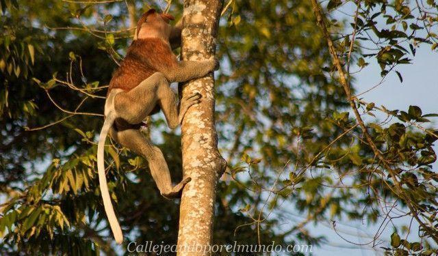 proboscis kinabatangan river borneo malasia 5