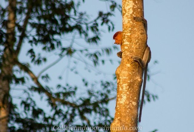 proboscis kinabatangan river borneo malasia 6