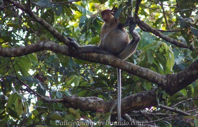 safari kinabatangan river borneo malasia (2)