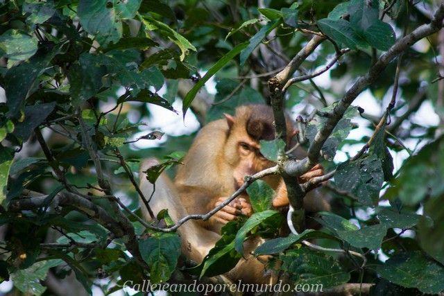 safari kinabatangan river borneo malasia (5)