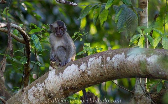 safari kinabatangan river borneo malasia (7)