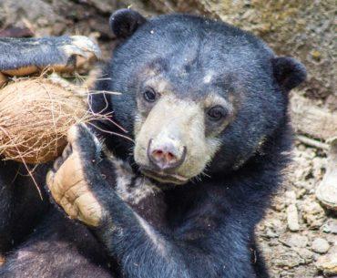 centro de recuperacion del oso de sepilok malasia
