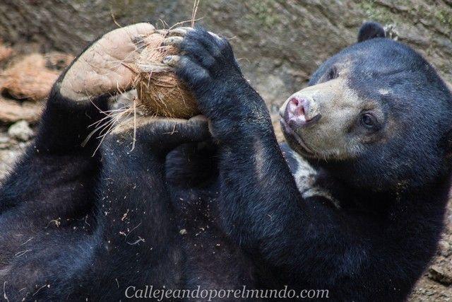 centro de recuperacion del oso sepilok borneo malasia (2)
