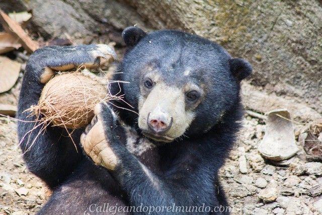centro de recuperacion del oso sepilok borneo malasia (3)