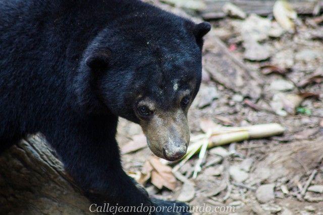 centro de recuperacion del oso sepilok borneo malasia