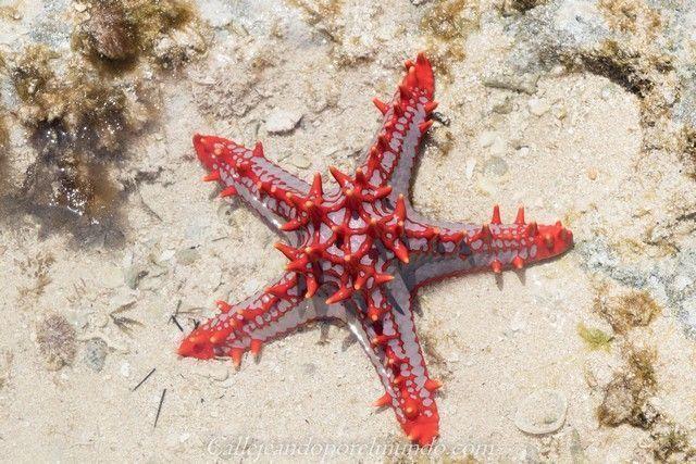 estrella de mar diani beach mombasa kenia
